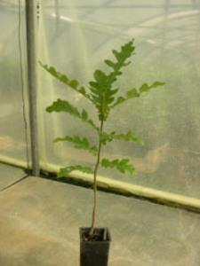 Chêne chevelu 2 ans Quercus cerris