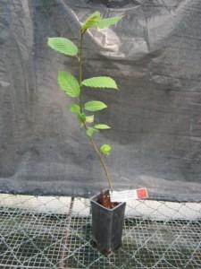 Charme 2 ans Carpinus betulus