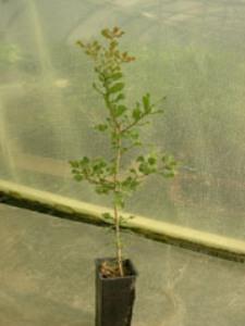 Chêne kermès 2 ans Quercus coccifera