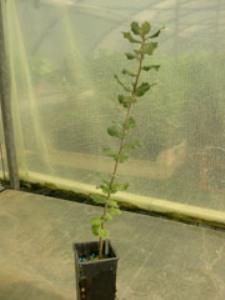 Chêne vert 2 ans Quercus ilex