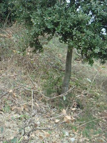 Chêne vert de plantation avec jeunes chênes pubescents poussant naturellement