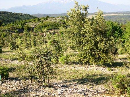 Au second plan, un arbre qui n'a jamais été taillé, le tronc est bien plus gros que celui de l'arbre au premier plan, du même âge mais taillé chaque année.