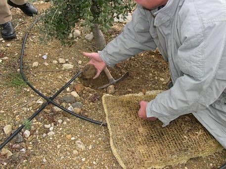 Les truffes sont plus grosses sous le paillage