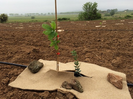 Plantation en mixte avec paillage biodégradable
