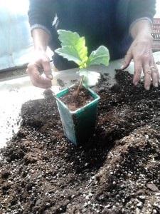 Jeune plant en pot définitif, à planter dans 1 an